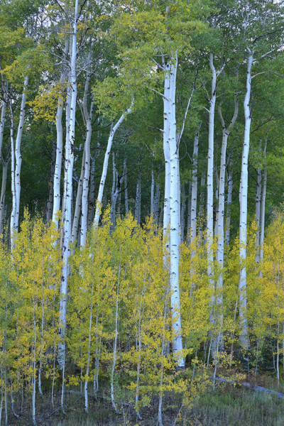 Photograph - Aspens Along Million Dollar Highway by Ray Mathis