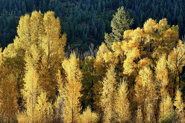 Photograph - Aspens In Autumn I by Leda Robertson