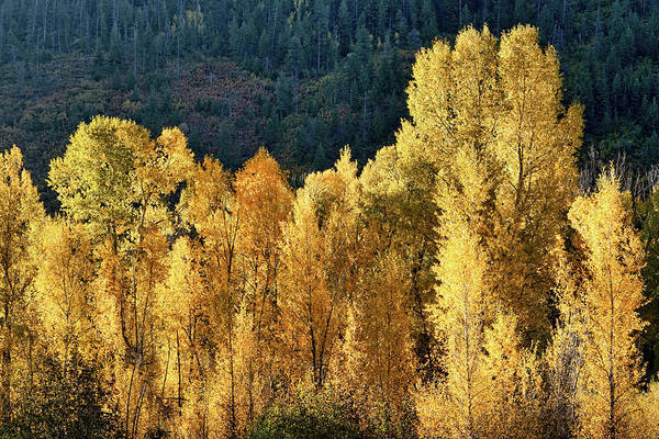 Photograph - Aspens In Autumn II by Leda Robertson