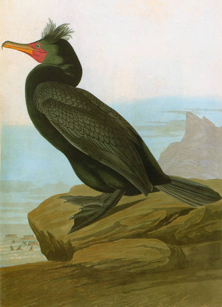 Phalacrocorax Auritus Wall Art - Photograph - Audubon: Cormorant by Granger