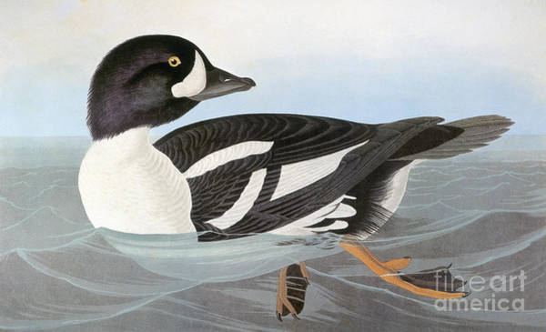 Photograph - Audubon Duck by John James Audubon