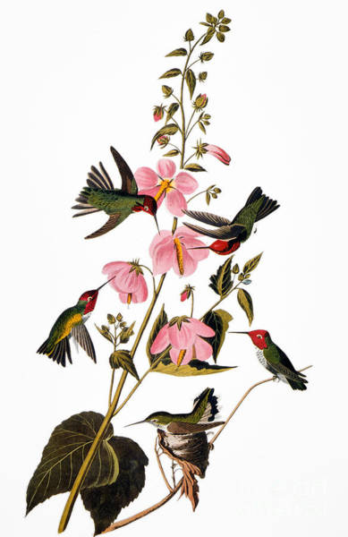 Photograph - Audubon: Hummingbird by Granger