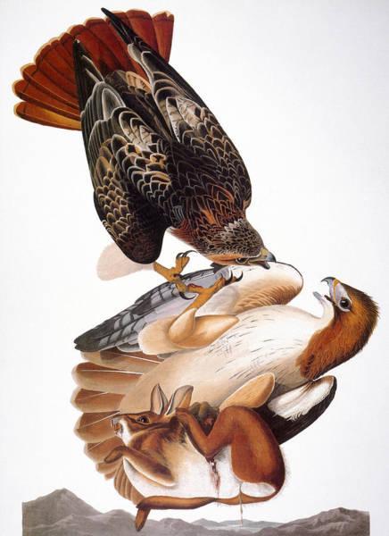 Wall Art - Photograph - Audubon: Red-tailed Hawk by Granger