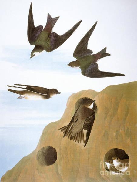 Violet-green Swallow Photograph - Audubon: Swallows, 1827-38 by Granger