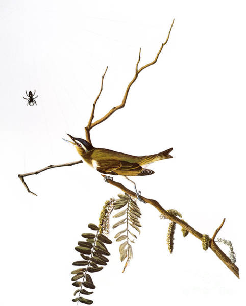 Photograph - Audubon: Vireo, (1827-38) by Granger