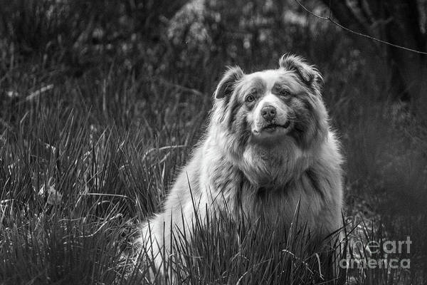 Photograph - Australian Shepherd Dog by Fabrizio Malisan