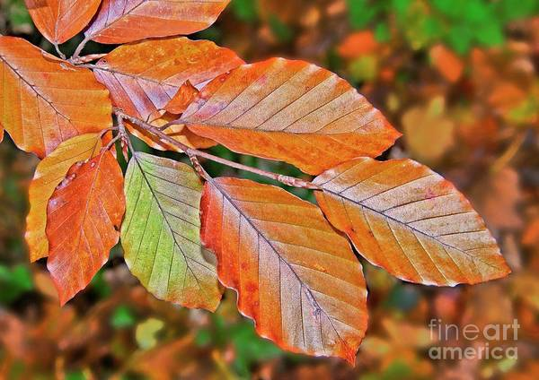 Photograph - Autumn Beech Tree Leaves by Martyn Arnold