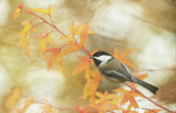 Wall Art - Photograph - Autumn Chickadee by Angie Vogel