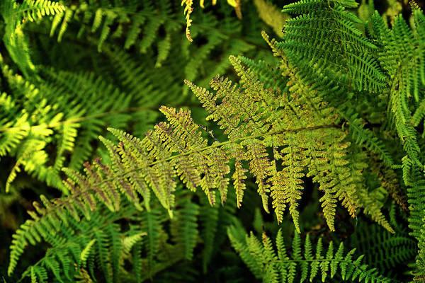 Photograph - Autumn Ferns by Tom Singleton