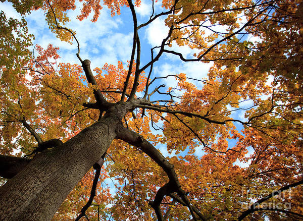 Trunks Photograph - Autumn Tree by Nailia Schwarz