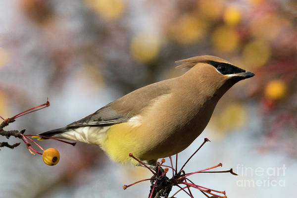 Wall Art - Photograph - Autumn Waxwing by Mike Dawson