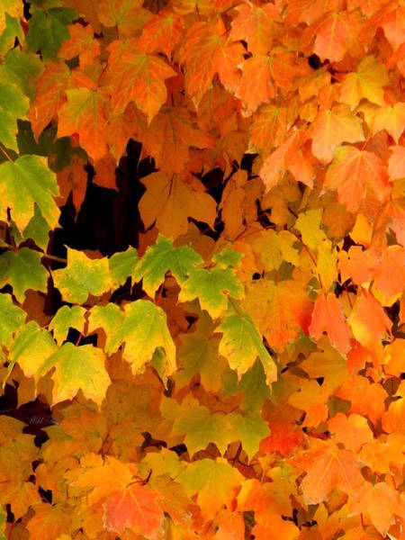 Acer Saccharum Photograph - Autumn by Wild Thing