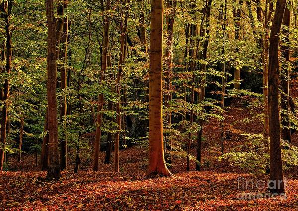 Photograph - Autumn Woodland by Martyn Arnold
