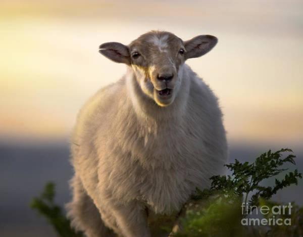 Sheep Photograph - Baa Baa by Angel Ciesniarska
