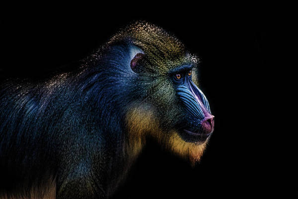 Baboons Photograph - Baboon by Martin Newman