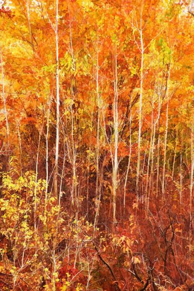 Photograph - Baby Birches by Leda Robertson