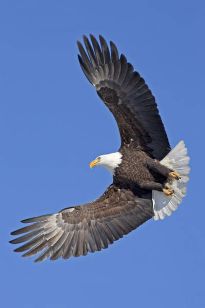 Haliaeetus Leucocephalus Photograph - Bald Eagle In Flight by Tim Grams