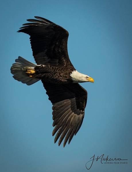 Photograph - Bald Eagle by John Nickerson