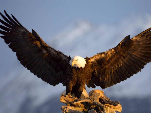Nature Digital Art - Bald Eagle by Maye Loeser