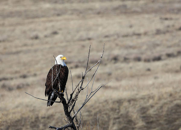 Photograph - Bald Eagle by Michael Chatt