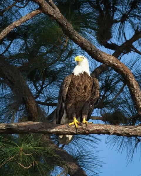 Photograph - Bald Eagle Near Nest by Ronald Lutz