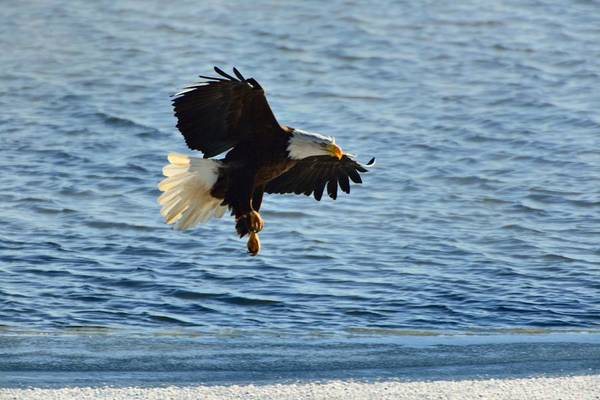 Photograph - Bald Eagle On Sweetwater Lake by Walt Sterneman
