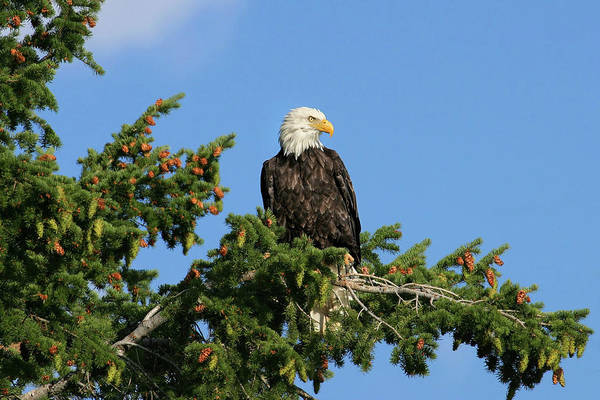 Photograph - Bald Eagle by Ronnie and Frances Howard