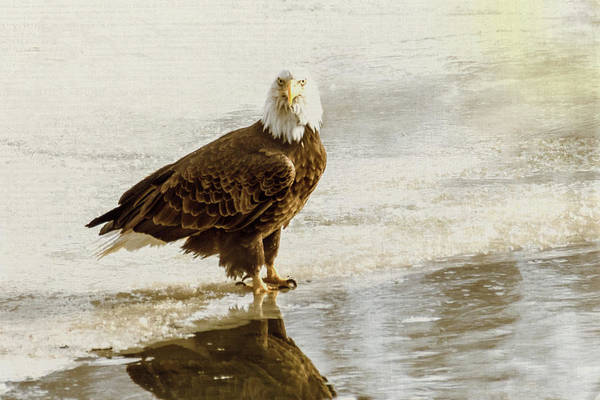Photograph - Bald Eagle Series #3 - Watch What I'm Going To Do by Patti Deters