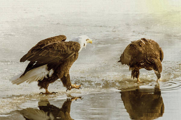 Photograph - Bald Eagle Series #4 - Here I Come by Patti Deters