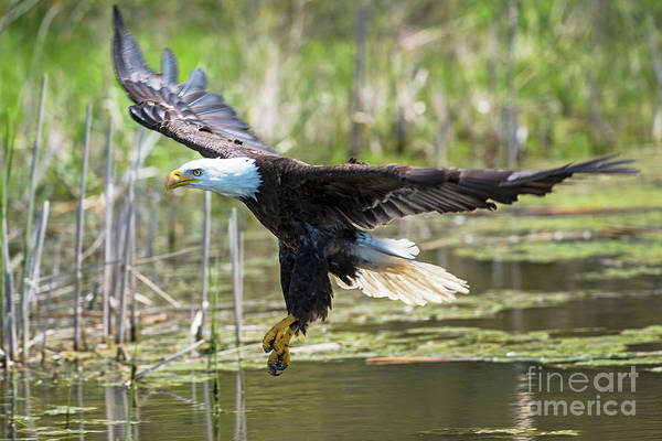 Photograph - Bald Eagle-3175 by Steve Somerville