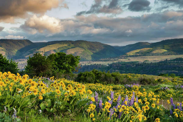 Wall Art - Photograph - Balsamroot Blooming In The Columbia Gorge by John Trax