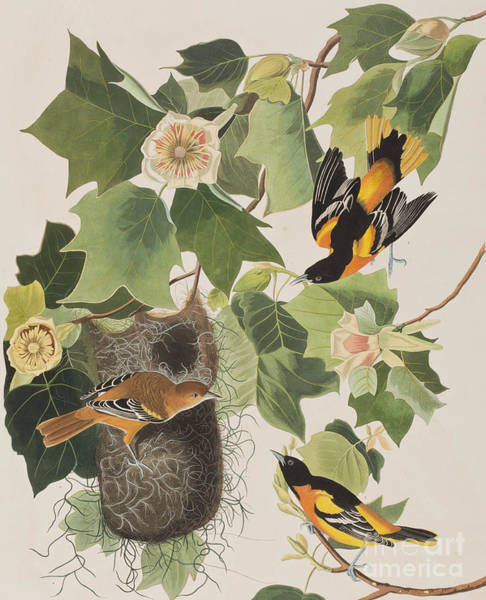 Baltimore Oriole Wall Art - Painting - Baltimore Oriole by John James Audubon