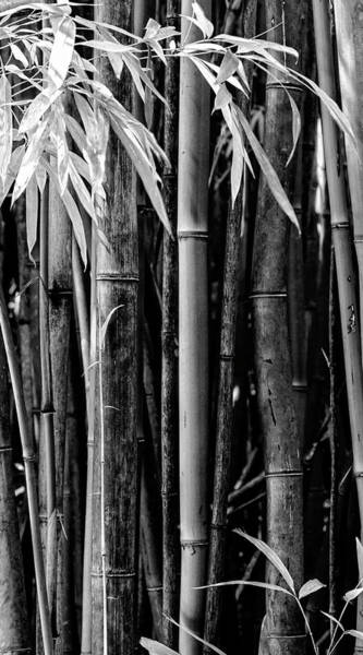 Wall Art - Photograph - Bamboo Black And White by Kelley King