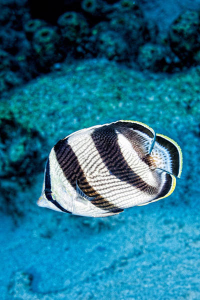 Art Print featuring the photograph Banded Butterflyfish by Perla Copernik