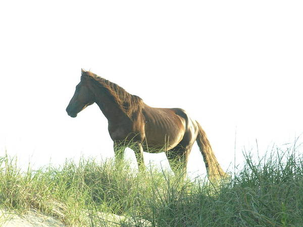 Photograph - Banker Horse On Dune - 2 by Jeffrey Peterson