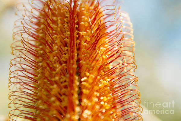 Photograph - Banksia Ericafolia by Sharon Mau