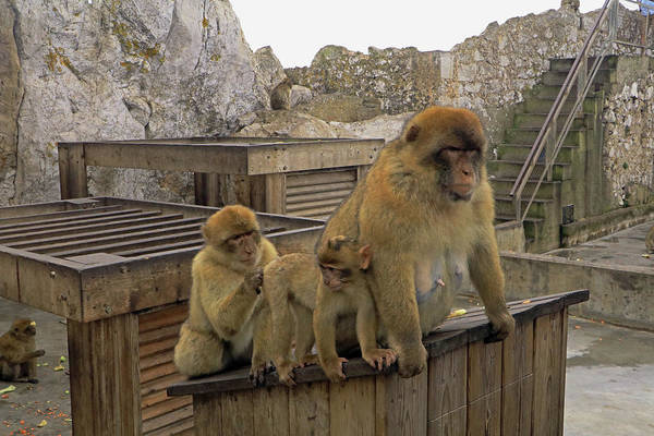 Photograph - Barbary Macaque by Tony Murtagh