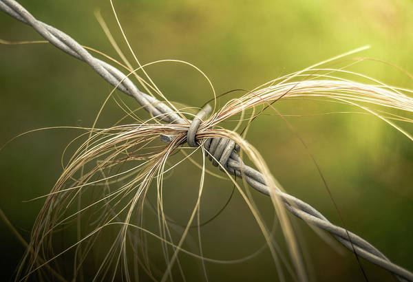 Wall Art - Photograph - Rural Barbed Wire Animal Hair by Mr Doomits