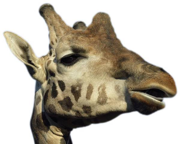 Hoodie Photograph - Baringo Giraffe by George Atsametakis