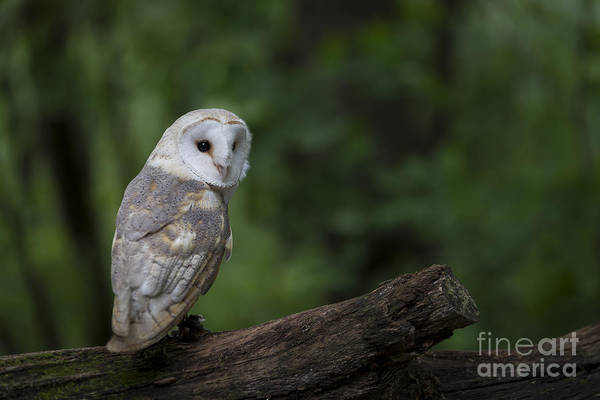 Photograph - Barn Owl In The Woods by Andrea Silies