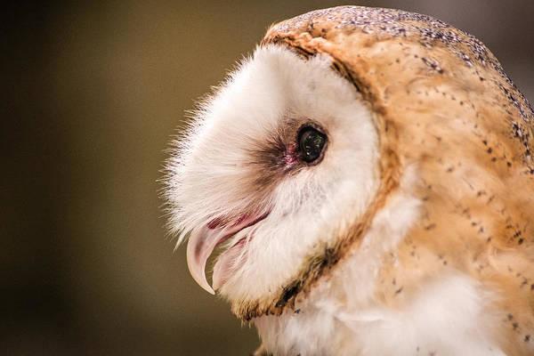 Photograph - Barn Owl Profile by Don Johnson