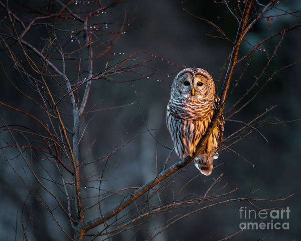 Maine Photograph - Barred Owl by Benjamin Williamson