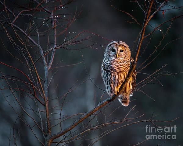 Barred Owl Art Print by Benjamin Williamson