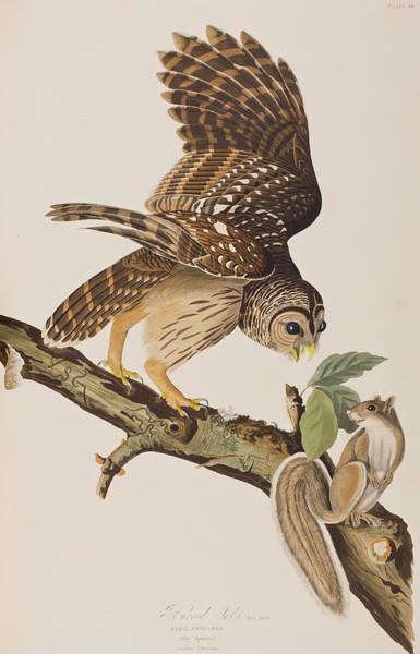 Ornithological Wall Art - Painting - Barred Owl by John James Audubon