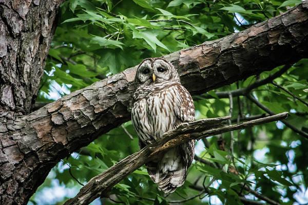 Wall Art - Photograph - Barred Owl by Linda Eszenyi