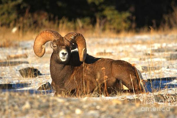 Photograph - Basking Bighorn by Adam Jewell