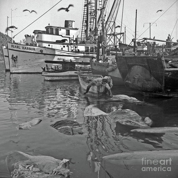 Photograph - Basking Shark Fishery In Moss Landing March 1947 by California Views Archives Mr Pat Hathaway Archives