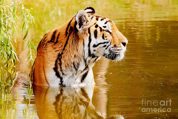 Photograph - Bathing Tiger by Nick  Biemans