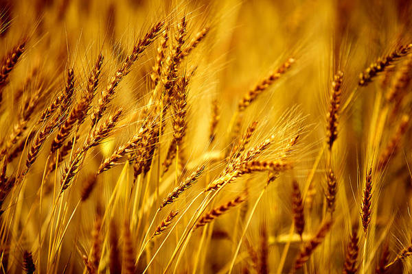 Photograph - Bearded Barley by Todd Klassy