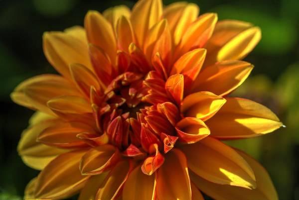 Photograph - Beautiful Dahlia 4 by Dimitry Papkov